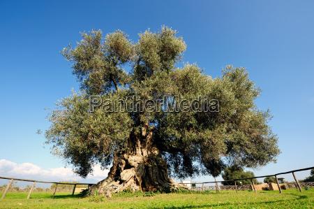 baum oliven oel pflanze gewaechs