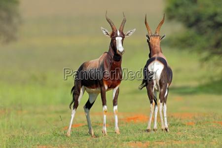 bontebok antelopes
