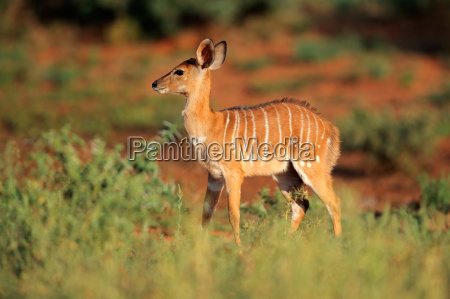 nyala antilope