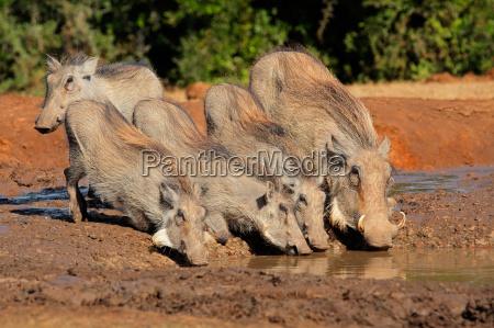 warthogs trinkwasser