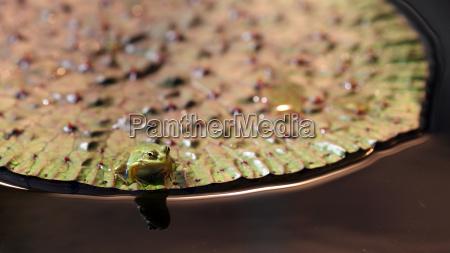 frosch auf nenuphar