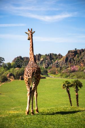 giraffen im zoo safaripark
