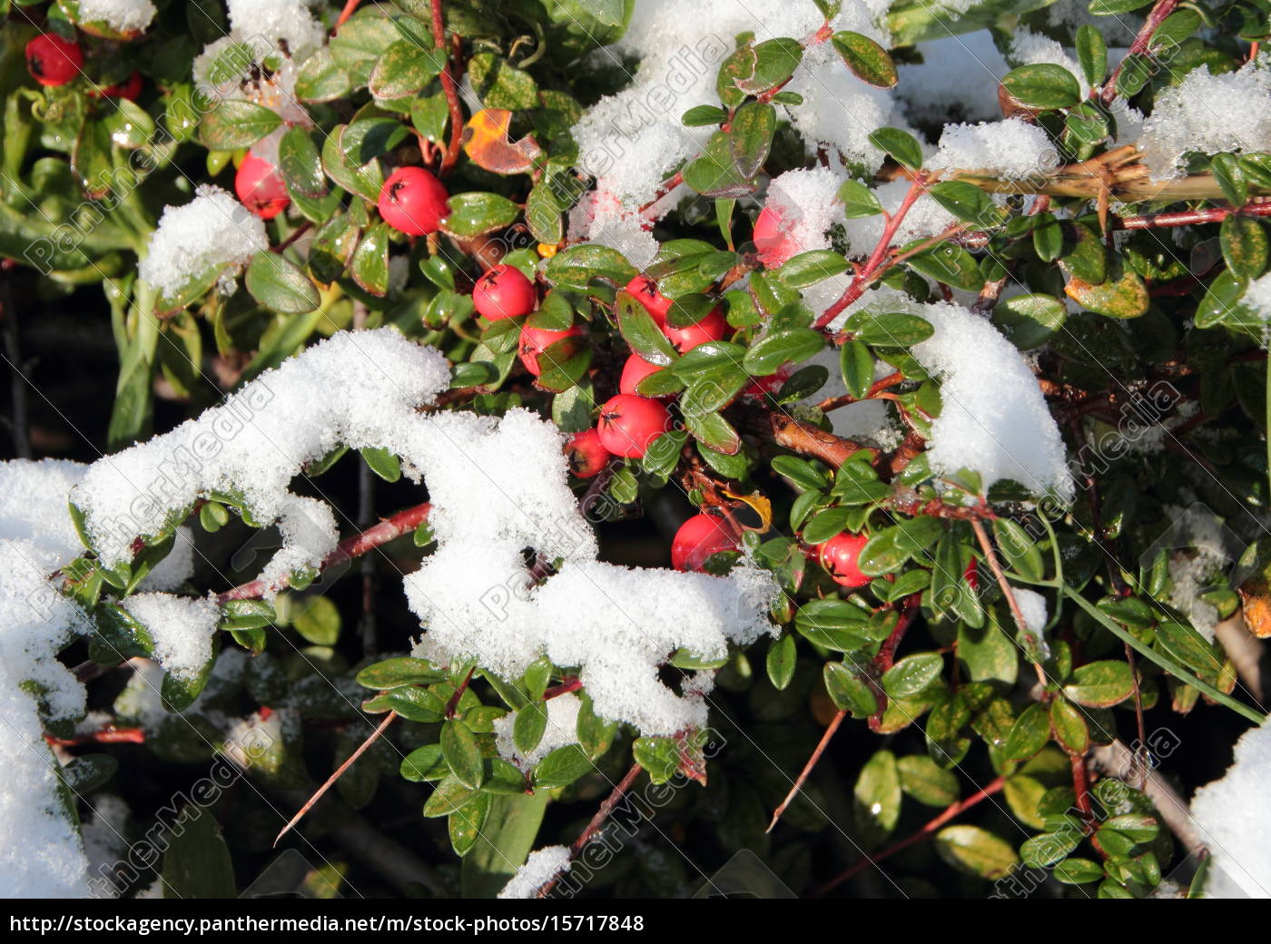 snow, covered, red, berries, on, green - 15717848