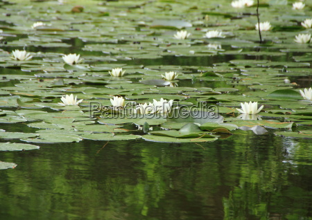 white, waterlily, in, lake, with, forest - 15719076