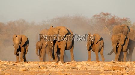 afrikanische elefanten in staub
