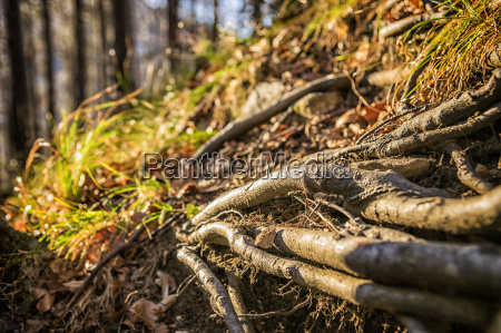 tree roots bavaria alps
