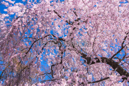 kirschbluetenbaum