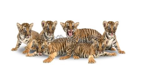 baby bengal tiger auf weissem hintergrund