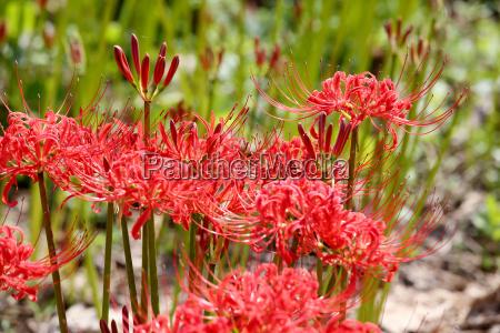 rote spinne lilie lycoris radiata cluster