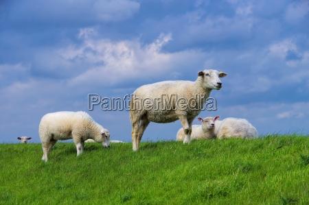 ostfriesland schafe eastern friesland sheeps