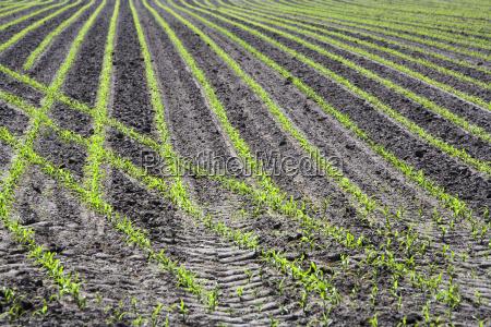 nur gepflanztes maisfeld