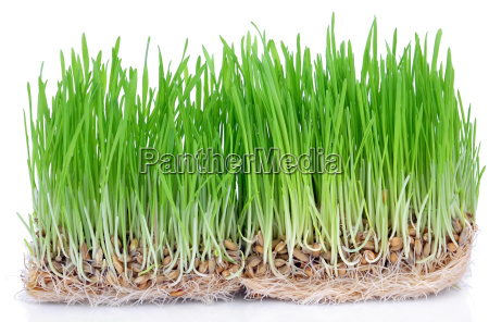 frisches gruenes gras auswuchs mit wurzeln