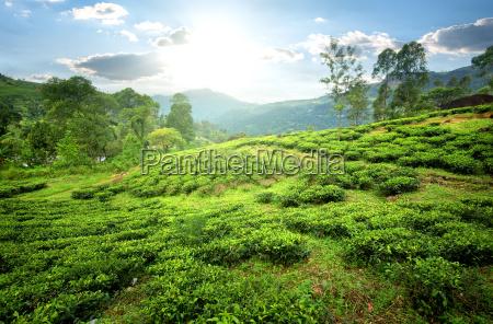 teefelder in den bergen