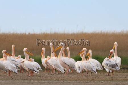 pelikane im donau delta