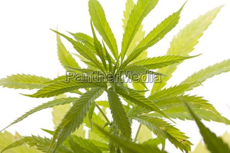 cannabis marihuana pflanze mit gruenen blaettern