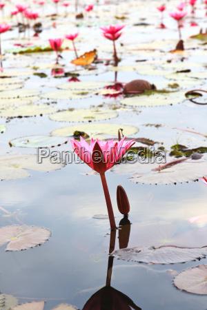 blume pflanze gewaechs thailand lotus suesswasser