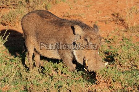 warzenschwein im natuerlichen lebensraum