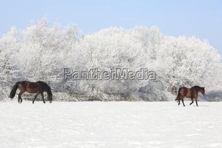 horses on winter pasture