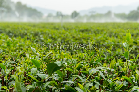 tea plants with drop water