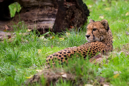 cheetah resting in the wild