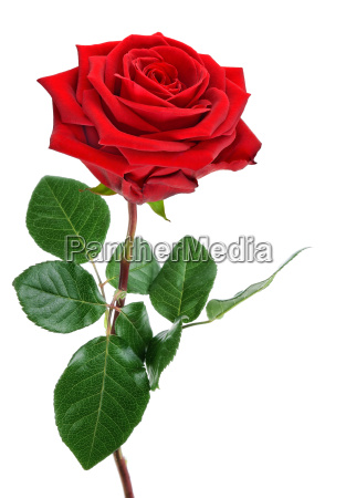 perfect bloated red rose