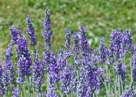 violette lavendelblueten