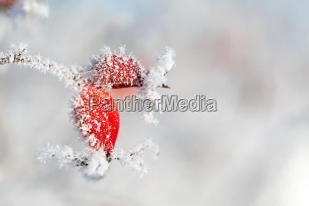 rote hagebutte mit eiskristallen