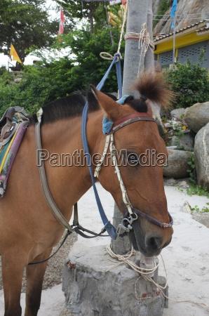 braunes pferd am strand fuer touristen