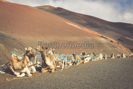 karawane der kamele in der wueste