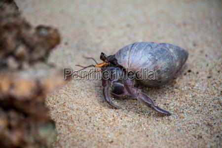 ein einsiedlerkrebs krabbelt im sand vom