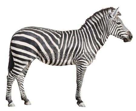 plain burchells zebra female standing side