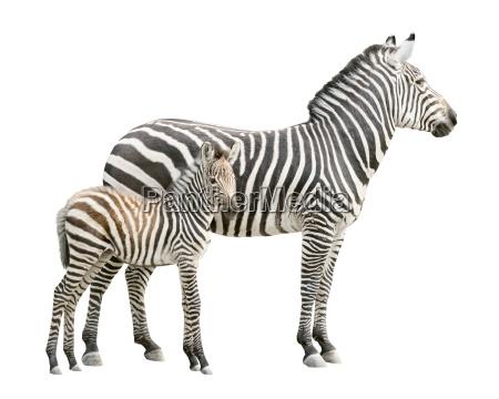 zebra mit fohlen ausschnitt