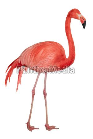 american flamingo ausschnitt