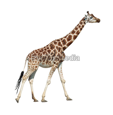giraffe on move