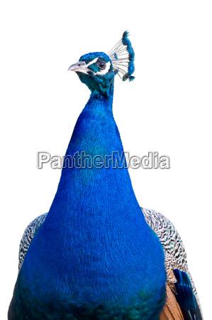 peacock closeup cutout