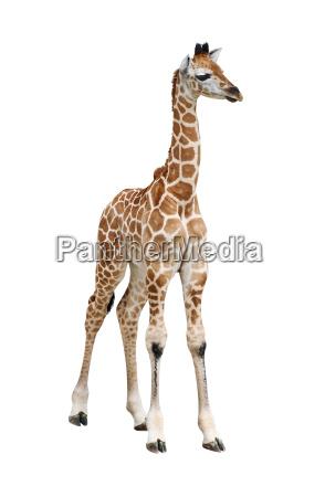 giraffe calf cutout