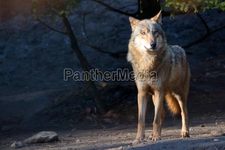 wolf in the wild