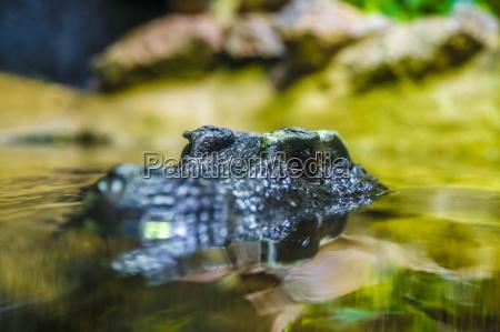 krokodilkopf im wasser