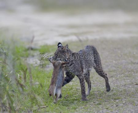 wild bobcat hunting