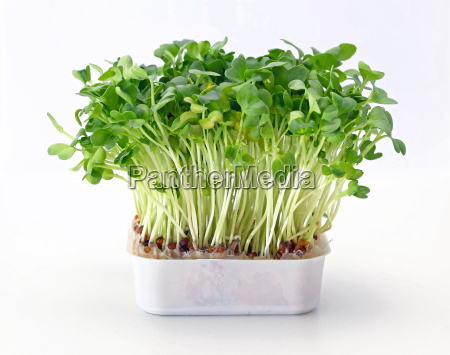 watercress in tray