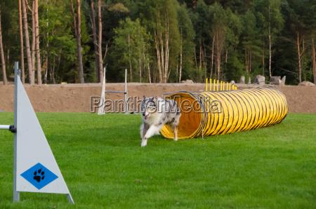 sport schweden hund springen springend springt