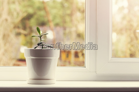 small indoor crassula plant in pot
