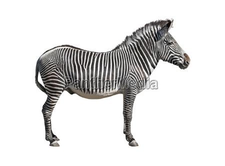 grevys zebra cutout