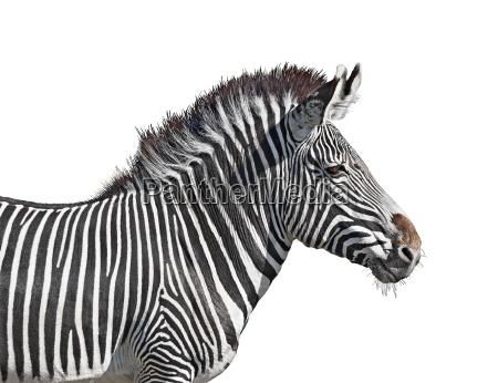 grevys zebra close up cutout