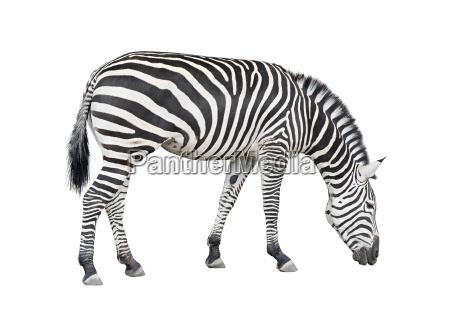 freisteller farbe pferd ross tier saeugetier