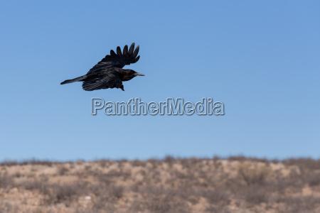 cape crow in kgalagadi suedafrika