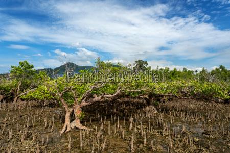 mangroven baum north sulawesi indonesien