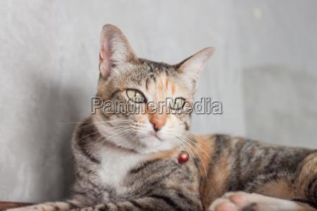 thai katze pose mit grauem hintergrund