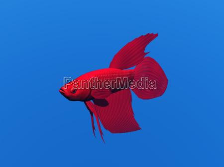 schleierfisch freigestellt