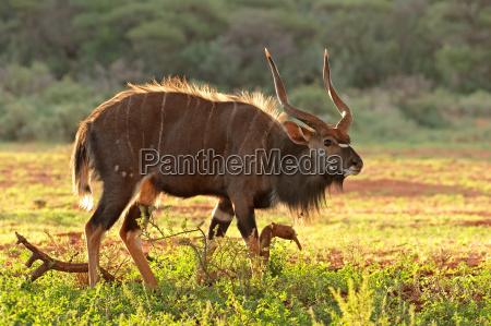 maennliche nyala antilope